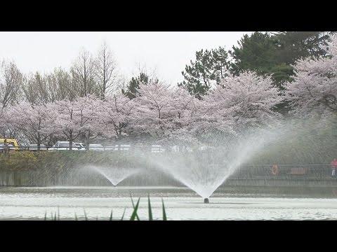 4월 첫 주말, 벚꽃 비 내릴 듯