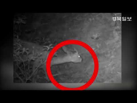 [영상] 영덕에서 송이버섯 따먹는 고라니 포착