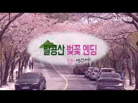 [영상 스케치] 팔공산 벚꽃 엔딩