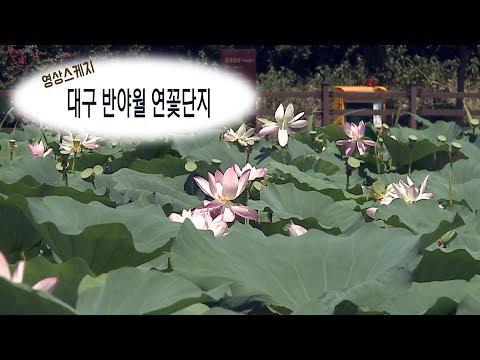 [영상 스케치]대구 반야월 연꽃단지